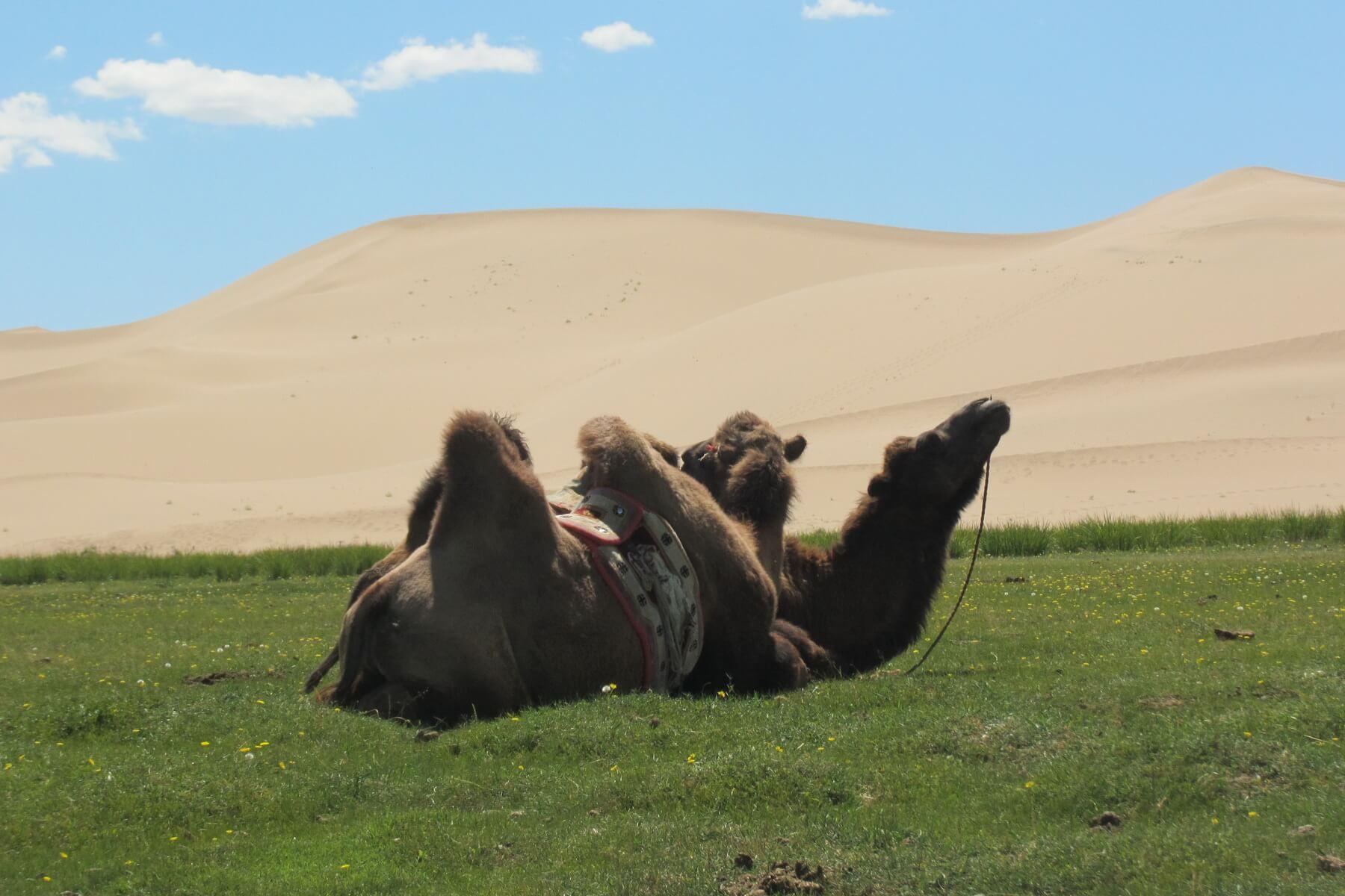Kamelreiten zählt zu einer der Aktivitäten bei einer Mongolei Reise