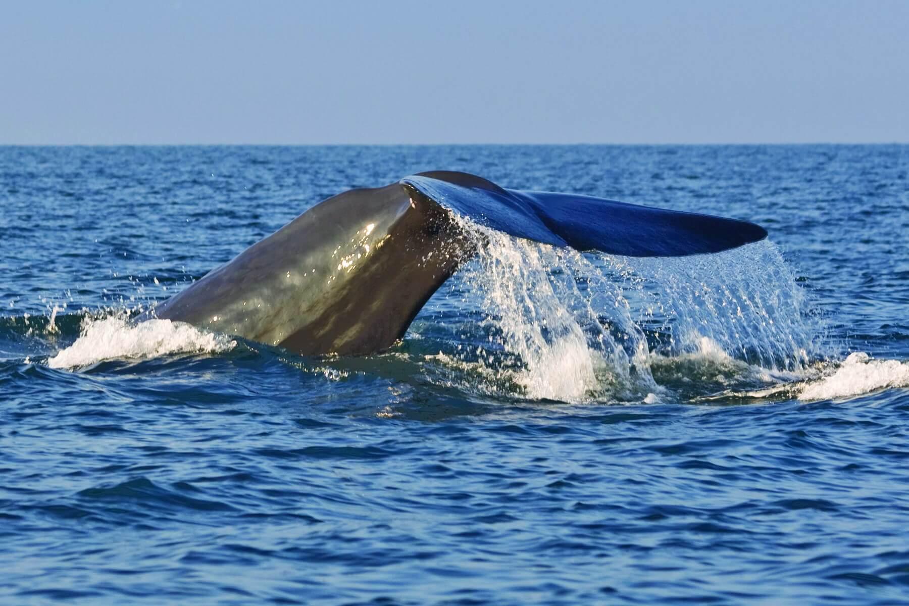 Sri Lanka hat sich längst zu einem Hotspot für Delfin- und Walbeobachtungen entwickelt, vor allem Blauwale halten sich oft vor der Ost- und der Südküste auf. Eine willkommene Abwechslung bei einer Sri Lanka Reise.