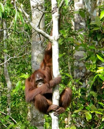 In Kalimantan können Orang Utans in freier Wildbahn beobachtet werden, ein ganz besonderes Erlebnis