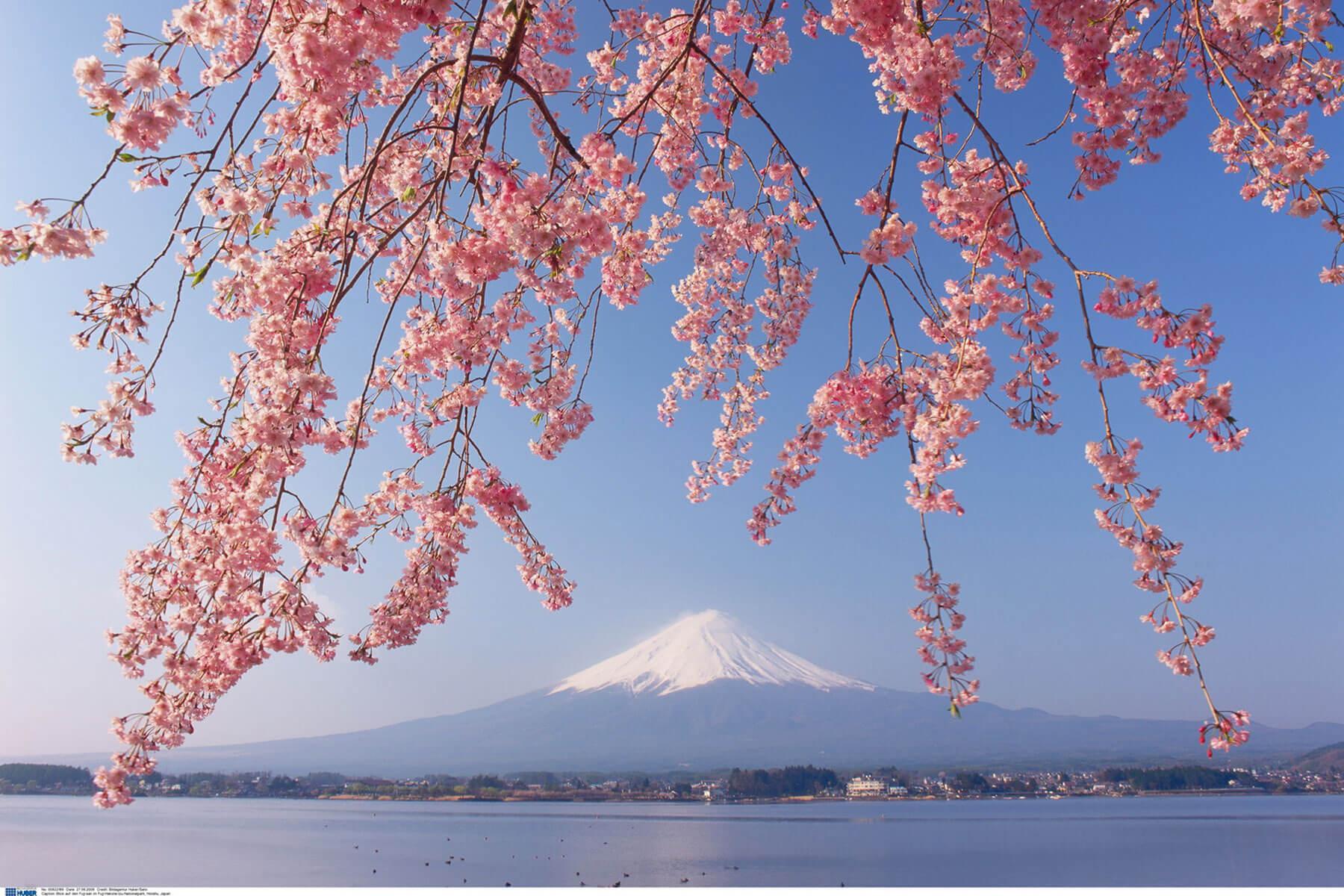 Japanische Kirschblüten Hanami - die beste Reisezeit ist etwa Mitte März bis Mitte April