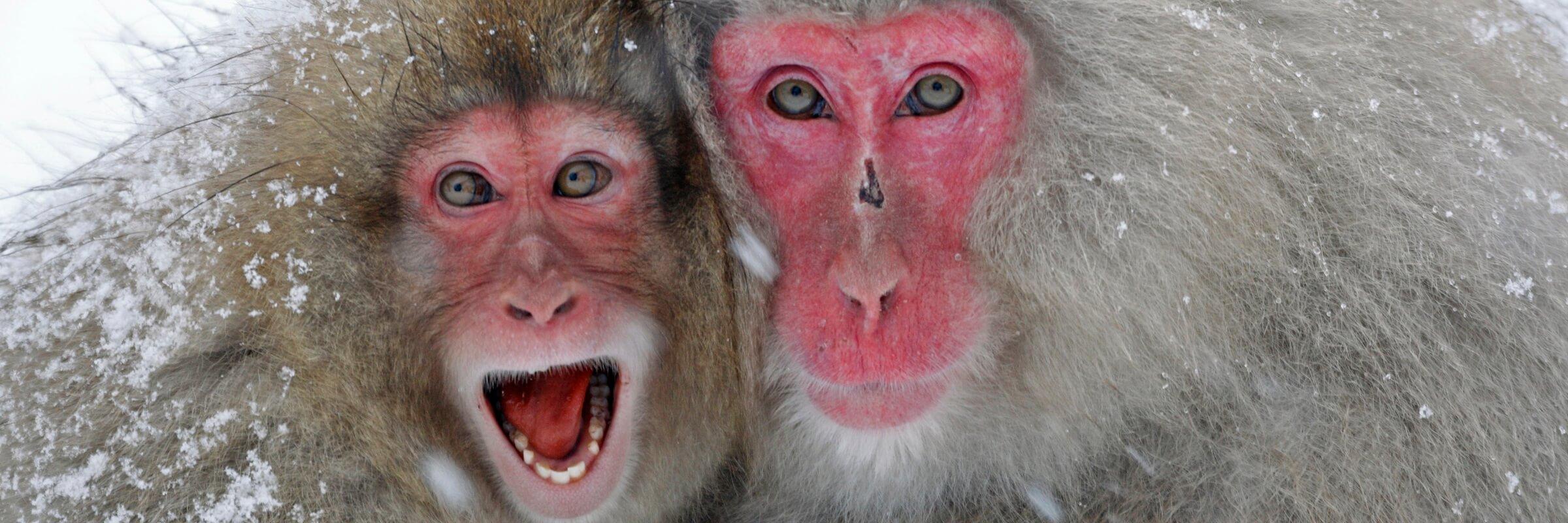 Wohl eins der spektakulärsten Naturschauspiele sind die badenen Schneeaffen oder auch Rotgesichtmakaken im Jigokudani Affenpark.
