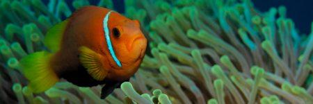 Anemonenfische leben in enger Symbiose mit Seeanemonen, die ihnen Schutz vor Raubfischen bieten.