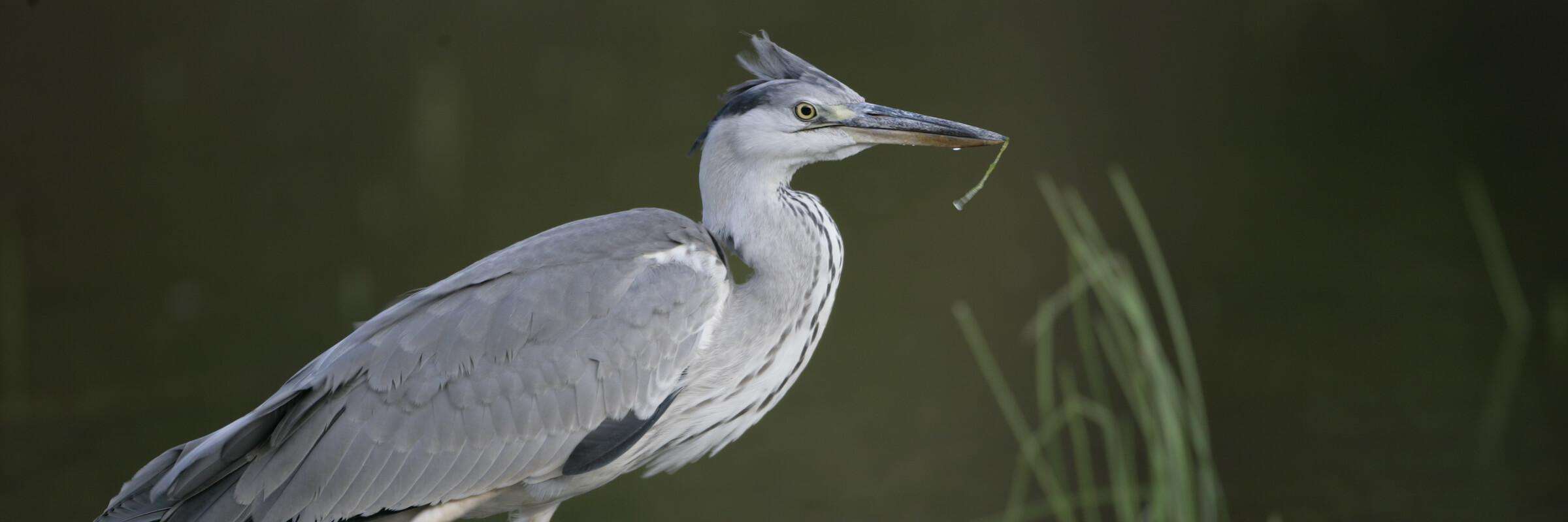 Da der Graureiher eine Vogelart ist, die nur geringe Anforderungen an ihren Lebensraum stellt, ist er fast überall auf der Welt vertreten.
