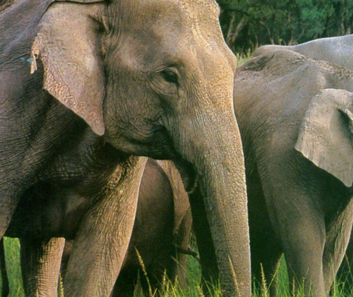 Horde indischer Elefanten im Grünen.