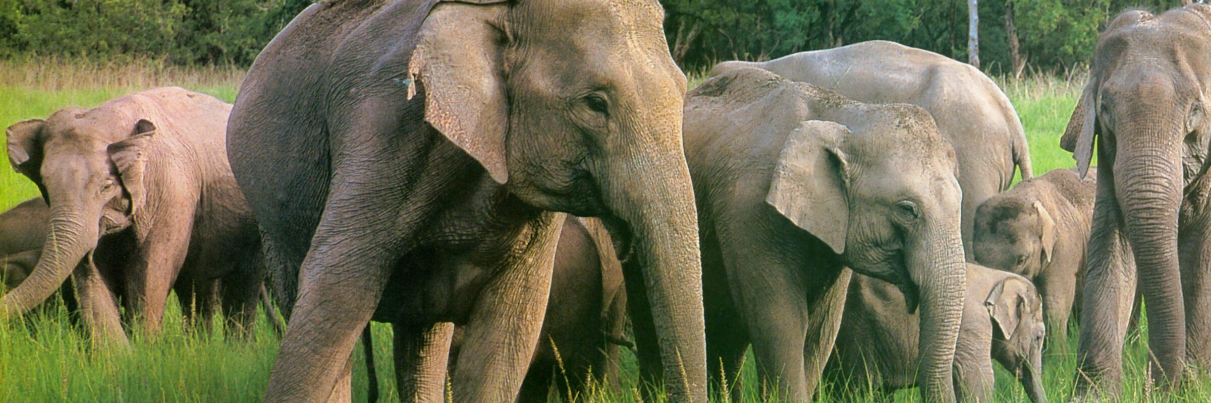 Eine Horde indischer Elefanten – Elefantenhöhlen