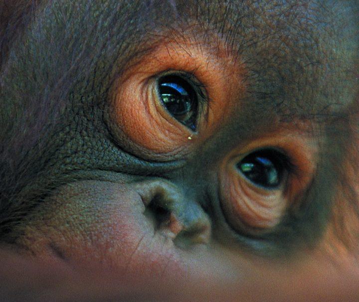 Orang Utans sind eine Menschenaffenart, die nur auf der Insel Borneo sowie auf der Insel Sumatra in Indonesien vorkommt.
