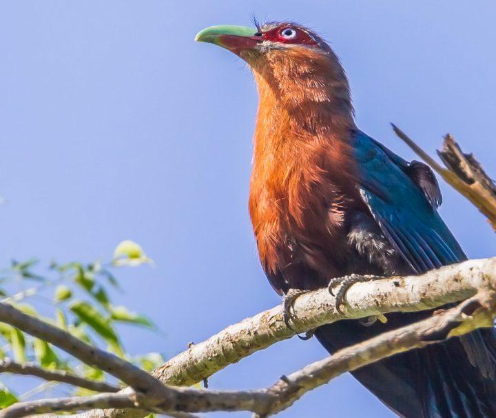 Der Kastanienbraune Malkoha gehört zur Familie der Kuckucke.