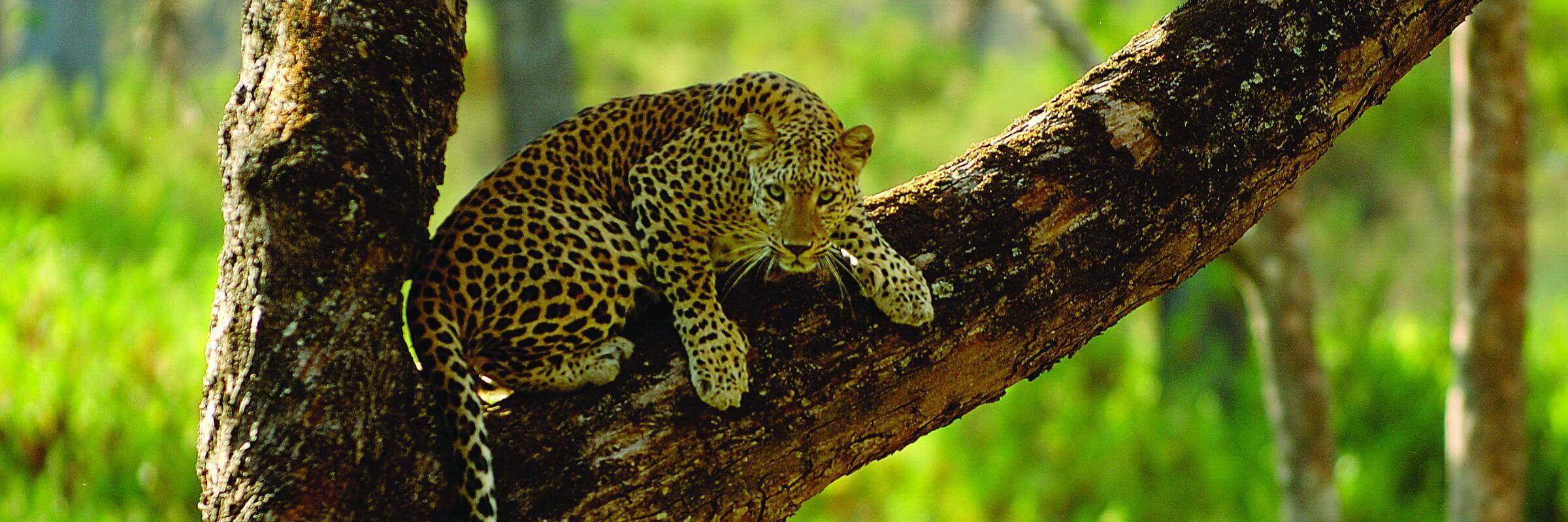 Nahaufnahme eines Leoparden im Nagarhole Nationalpark Kabini