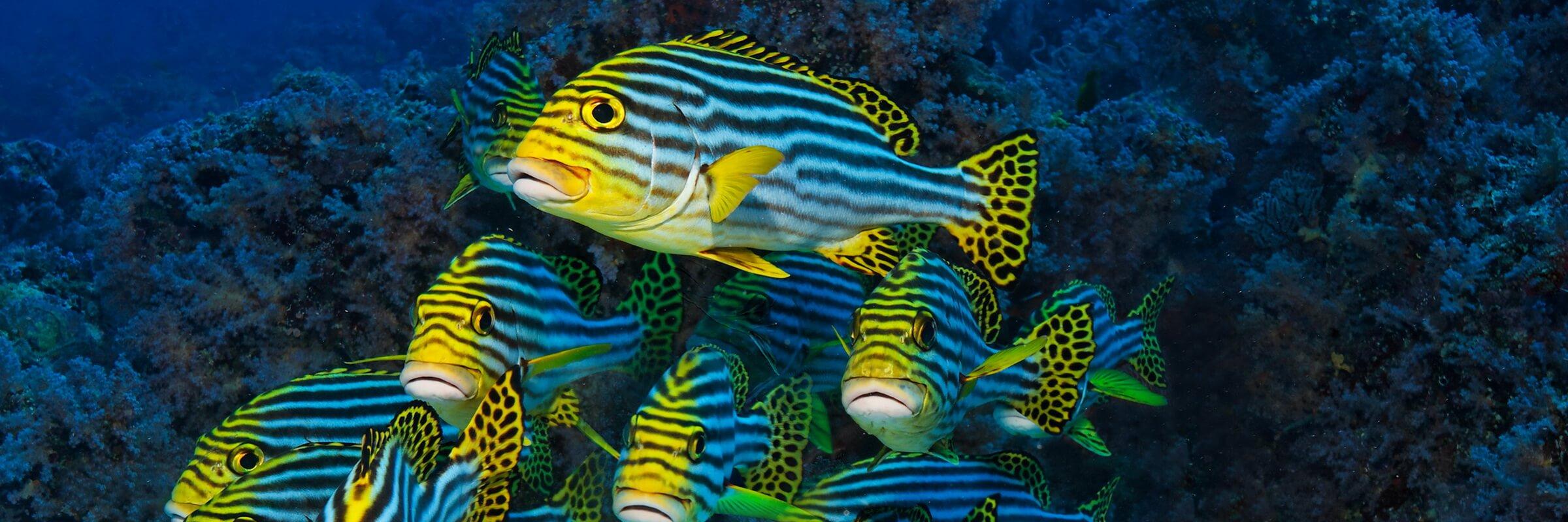 Lippfische sind meist sehr farbenfroh und die einzelnen Gattungen äußerst Vielfältig in Größe und Gestalt.