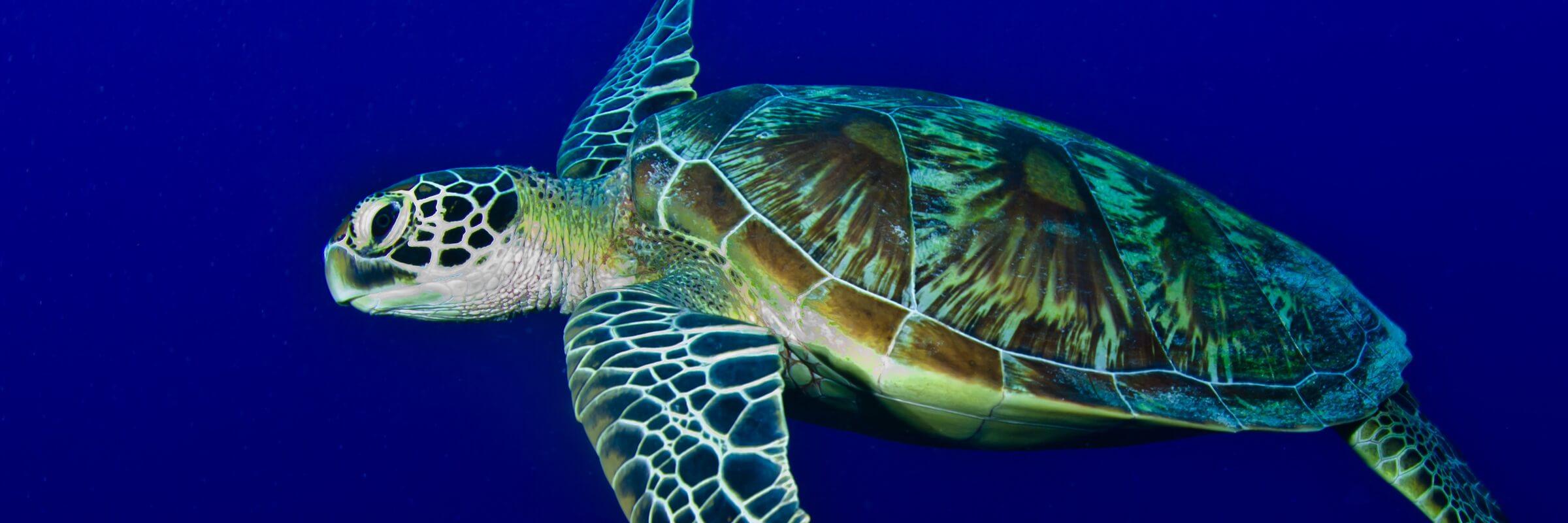 Meeresschildkröten sind in den Gewässern um Palau sehr zahlreich und können fast bei jedem Tauch- oder Schnorchelausflug bewundert werden.