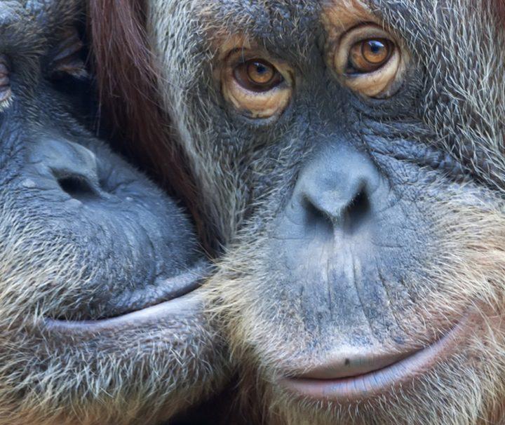 In Kalimantan, dem indonesischen Teil Borneos, hat man die Möglichkeit Orang Utans in freier Wildbahn zu erleben.