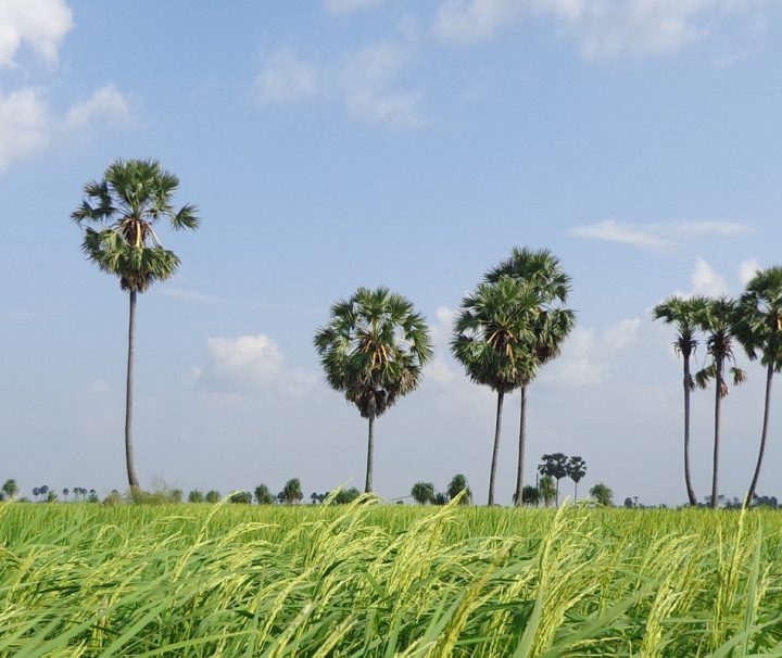In Kampong Cham findet man, wie auch an anderen vielen Orten in Kambodscha, üppige, grüne Reisfelder.