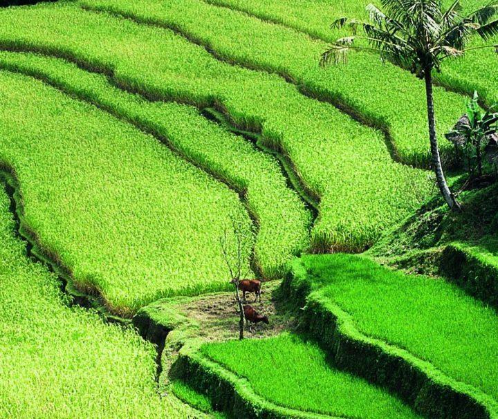 Die Bewässerungs- und Anbautechnik der balinesischen Reisbauern gilt als unübertroffen und macht bis zu drei Ernten im Jahr möglich.