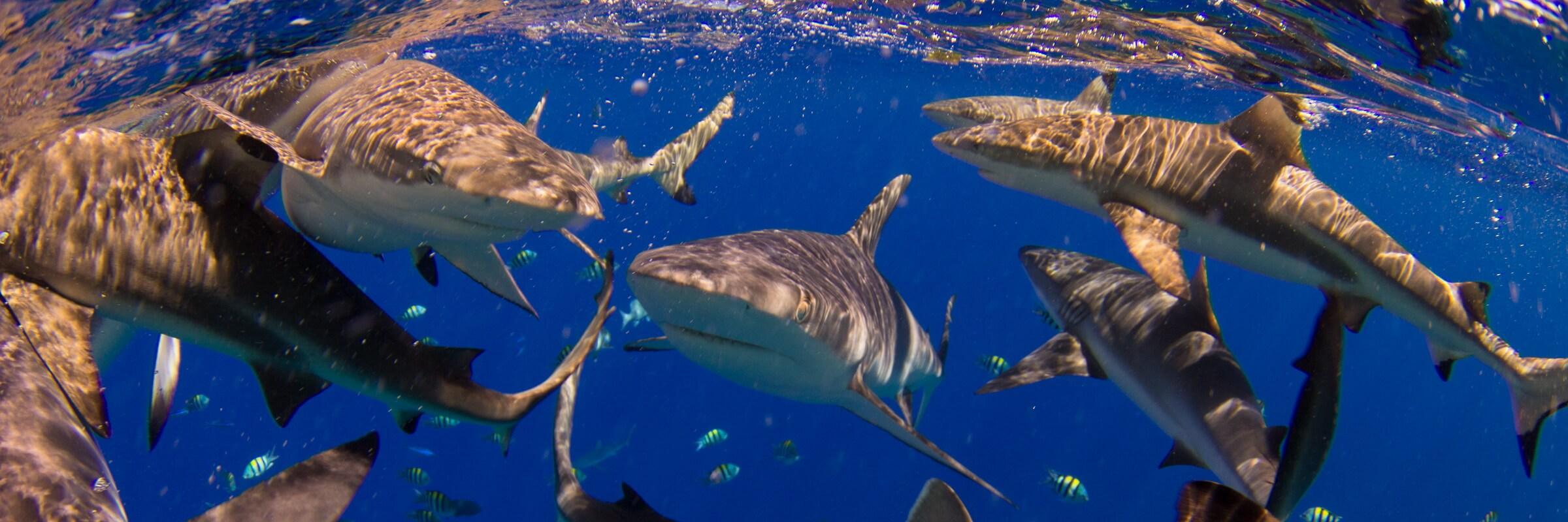 """Am Tauchplatz """"Vertigo"""", am nordwestlichen Außenriff von Yap, kann man Haifütterungen beiwohnen."""