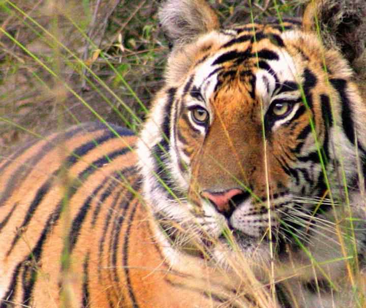 Der Bengaltiger lebt neben anderen wilden Tieren im Naturschutzgebiet des Bandhavgarh Nationalpark.
