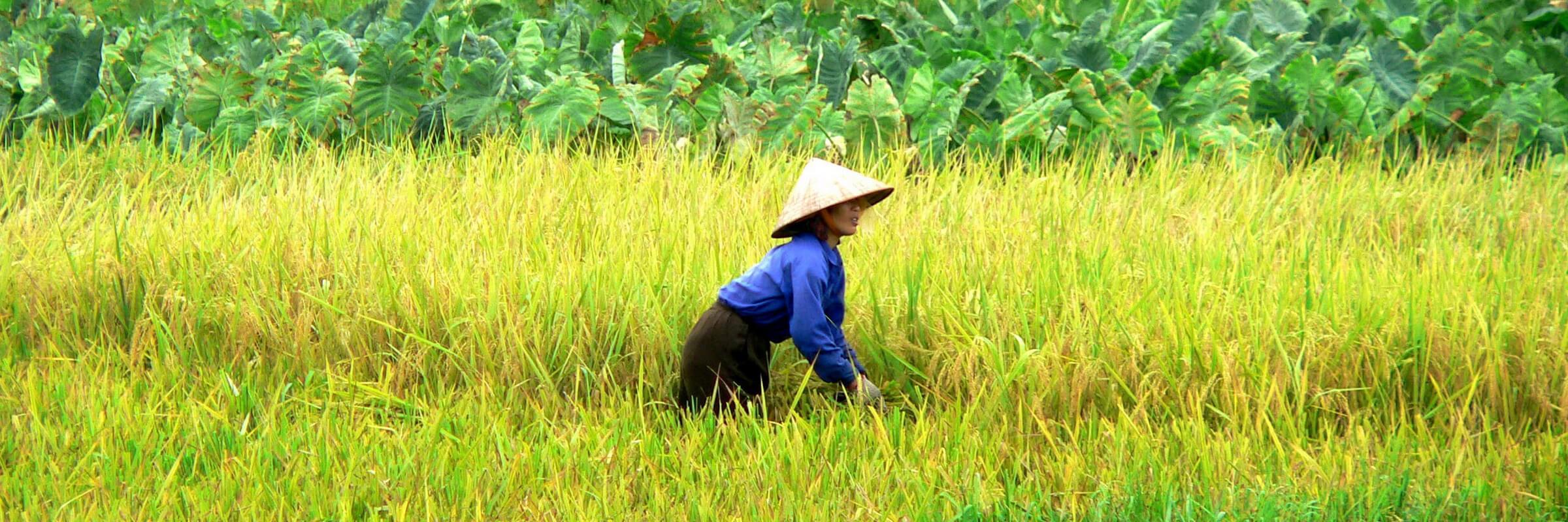 Die kleinen Bauern bilden das Rückgrat des Reisanbaus in Vietnam und sind oft auch die Eigentümer des bebauten Landes. Die Feldarbeiten. Während Ihrer Vietnam Reise werden Sie diese Feldarbeiten oft sehen.