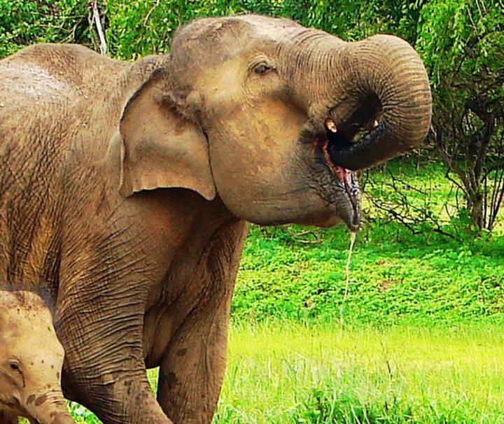 Auf Sri Lanka gibt es noch größere wildlebende Bestände der stark gefährdeten Asiatischen Elefanten.