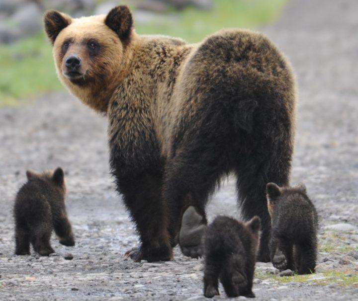 Eine wunderbare Tier und Naturszenerie - eIne Bärenfamilie auf Wanderschaft