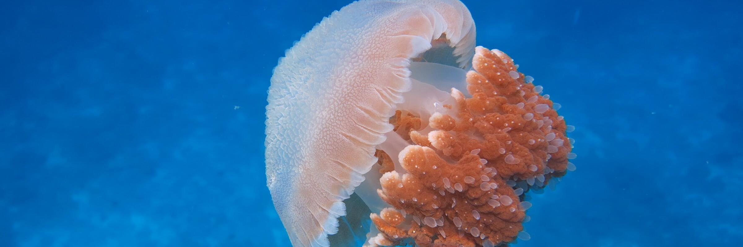 Quallen sind Bestandteil der Fauna in der Andamanen See.