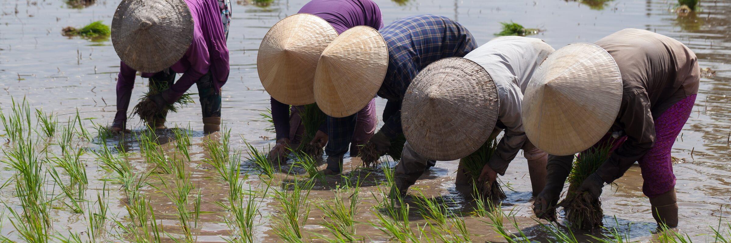Reisanbau in Vietnam ist Gemeinschaftsarbeit, oft müssen Dörfer, Distrikte und ganze Provinzen dafür koordiniert zusammenarbeiten.