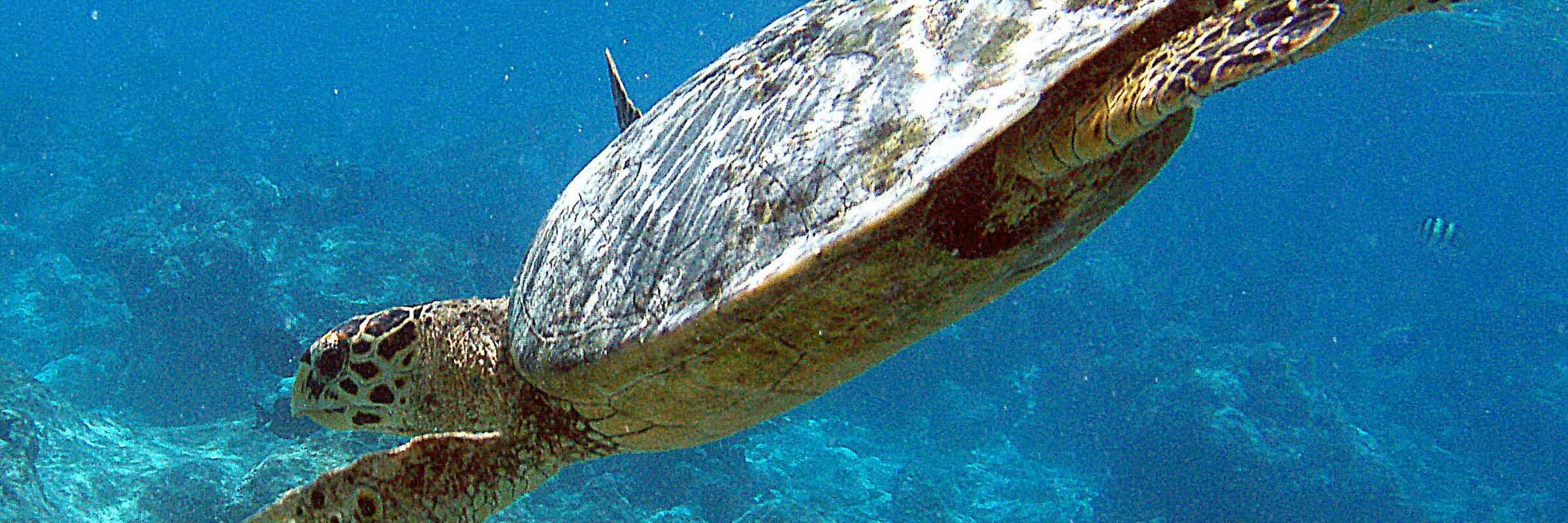 Beim Tauchen oder Schnorcheln vor den Malediven sind leicht große Meeresschildkröten anzutreffen.