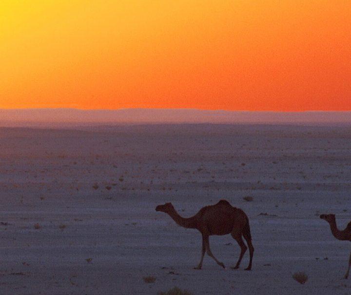 Drei Kamele in Omans Wüste Wahiba Sands aufgenommen zum Sonnenuntergang