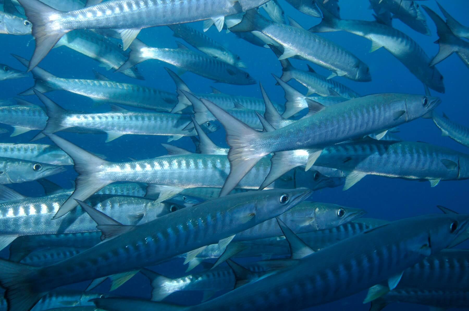 Junge Barrakudas leben oft in riesigen Schwärmen im offenen Gewässer, während ausgewachsene Tiere meist Einzelgänger sind.