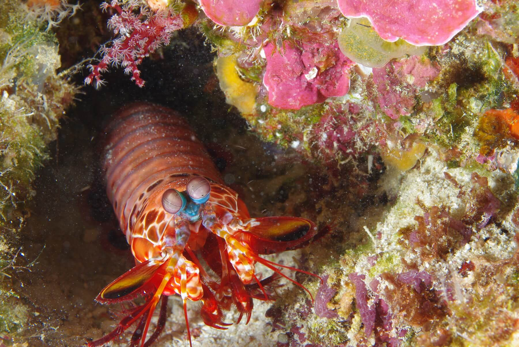 Die Fangschreckenkrebse verdanken ihren Namen den Fangwerkzeugen, die äußerlich denen von Gottesanbeterinnen ähneln.