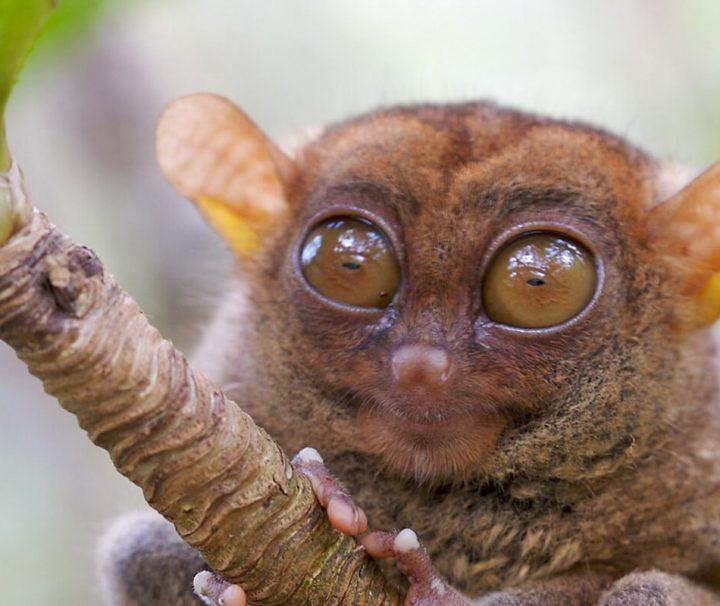 Philippinen-Koboldmakis sind eine Primatenart aus der Gruppe der Koboldmakis die nur auf den südöstlichen Philippinen vorkommt.