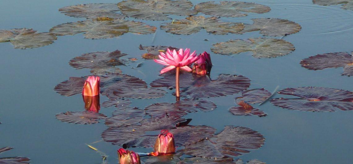 Lotusblüten auf dem Inle See in Myanmar