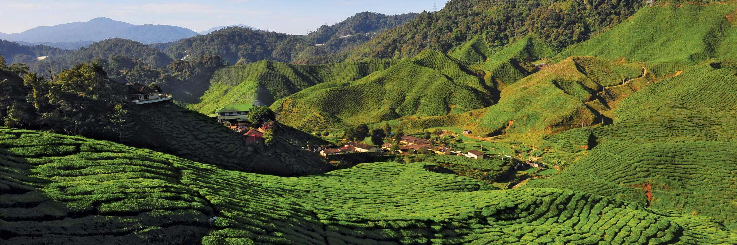 Aufgrund der kühlen Witterung gedeihen in den Cameron Highlands andere Pflanzen als in der malaysischen Ebene, vor allem wird aber Tee angebaut.