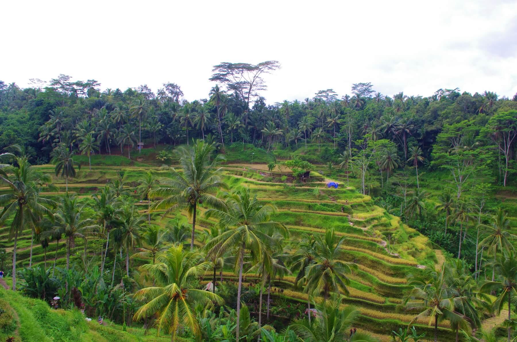 Ein Spaziergang durch die Reisterrassen sollte bei Ihrem Indonesien Urlaub nicht fehlen