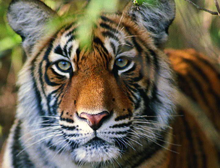 Das Highlight eines jeden Nationalpark Besuchs in Indien: der indische Tiger