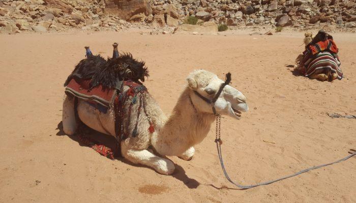 Kamel in der Wüste Jordaniens