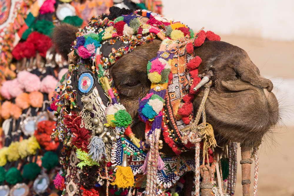 Geschmücktes Kamel für das hinduistische Vollmondfest Pushkar Mela in Pushkar mit weltgrößtem Kamel- und Viehmarkt.