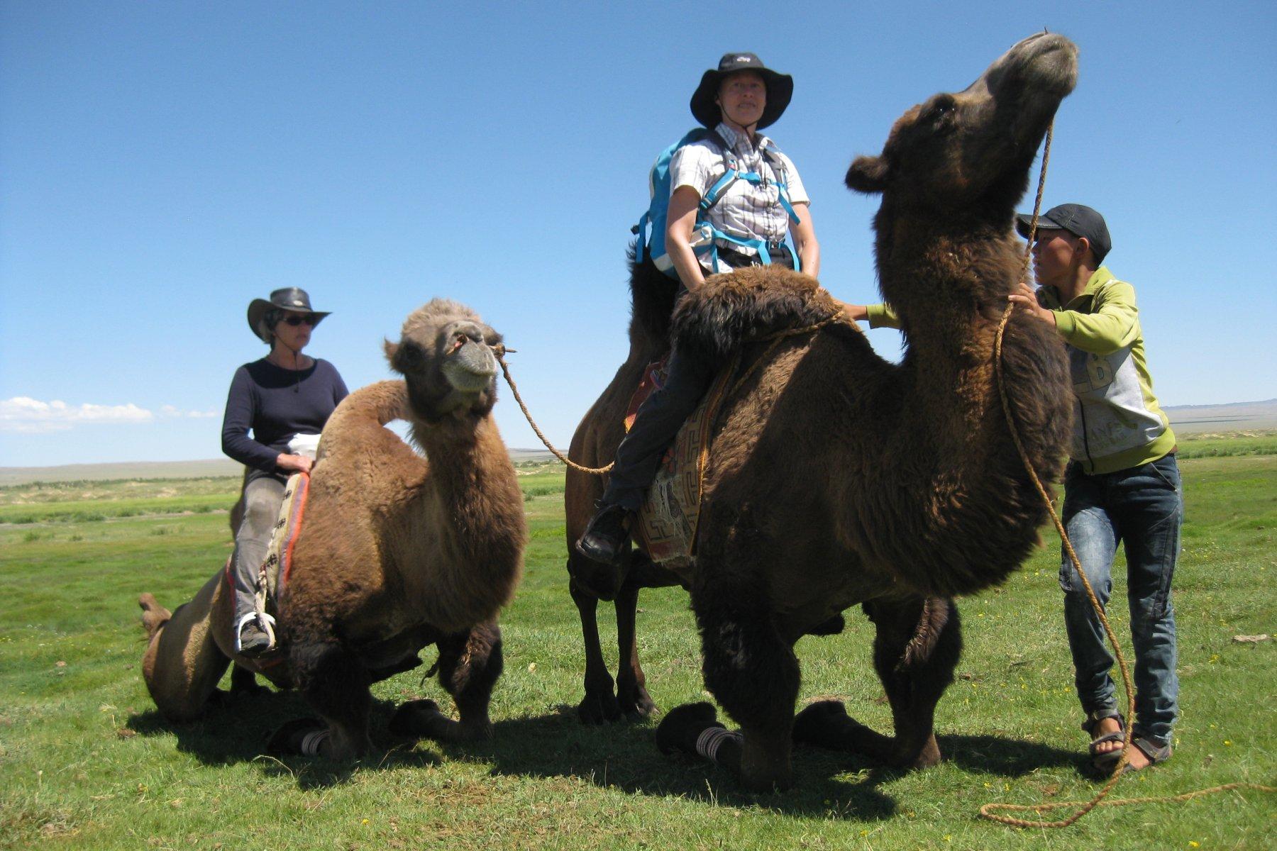 Kamele sind wichtige Nutztiere in der Mongolei, sie dienen zur Überbrückung von Entfernungen und zum Transport von Lasten in der Steppe und der Gobi.