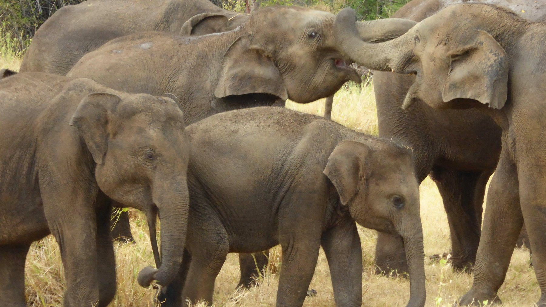Elefanten im Minneriya Nationalpark – Sri Lanka kompakt