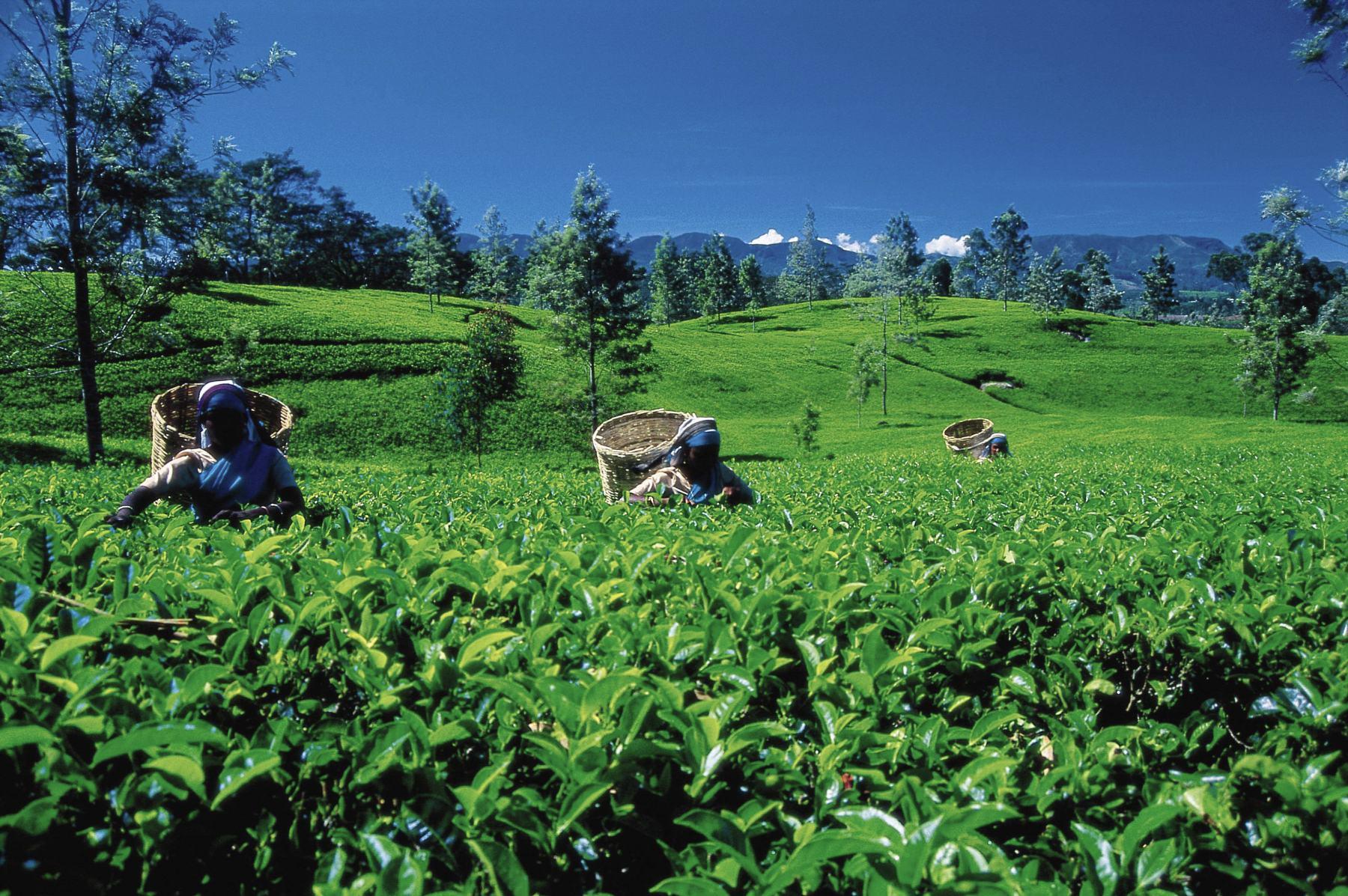 Arbeiterinnen auf einer Teeplantage ernten feinen Ceylon Tee – Sri Lanka kompakt