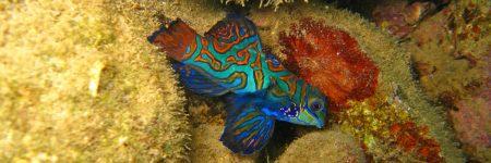 Der farbenprächtige Mandarinfisch ist hauptsächlich in geschützten Lagunen und Küstenriffen vorzufinden.
